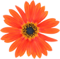 Image of Orange Gerber Daisy